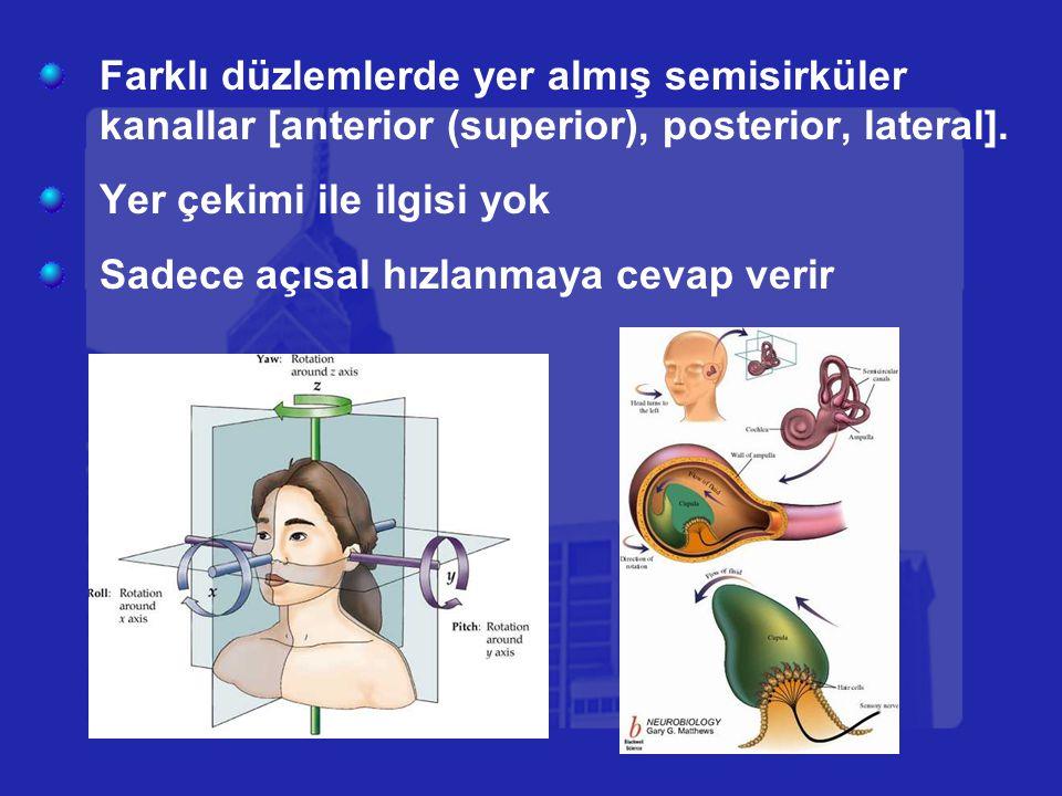 Farklı düzlemlerde yer almış semisirküler kanallar [anterior (superior), posterior, lateral].